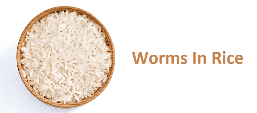 worms in rice