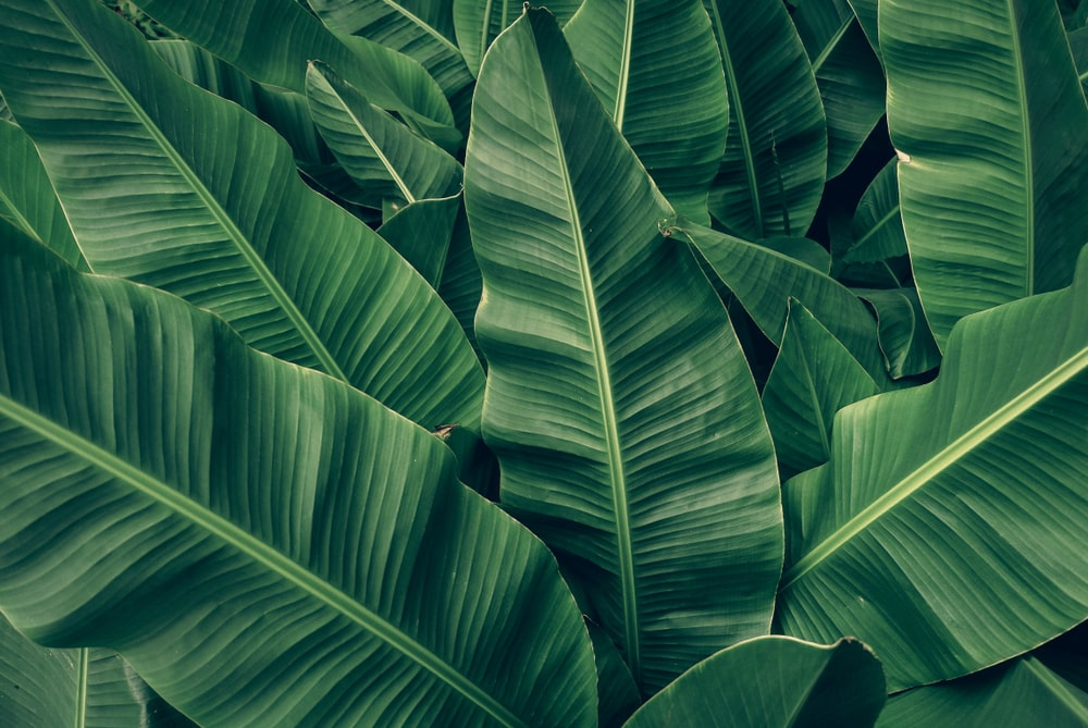 4 Great Substitutes for Banana Leaf