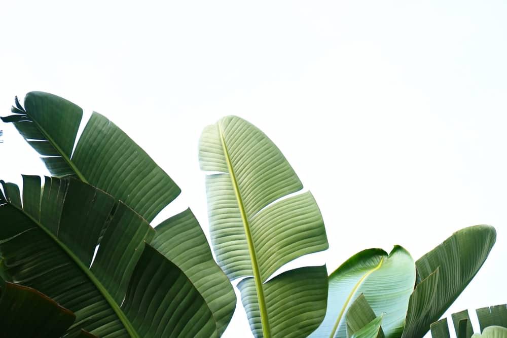 banana leaf substitute