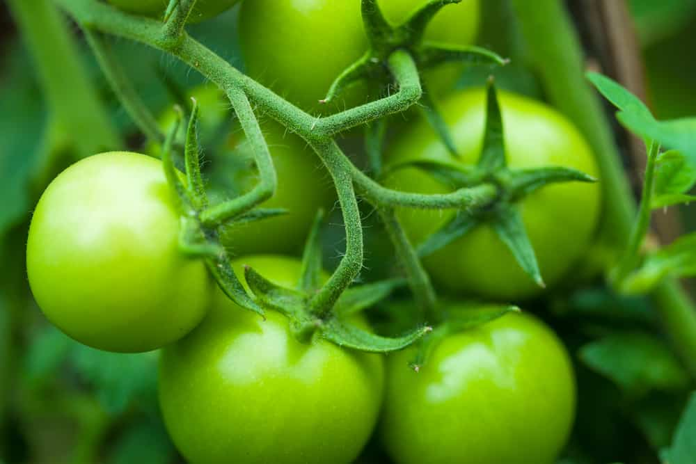 substitute for green tomatoes