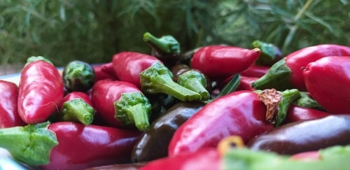 Freshly picked Calabrian red chilies
