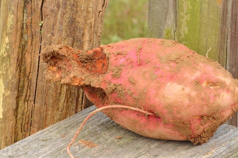 Holes In Sweet Potato