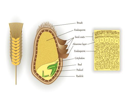 The anatomy of a wheat grain