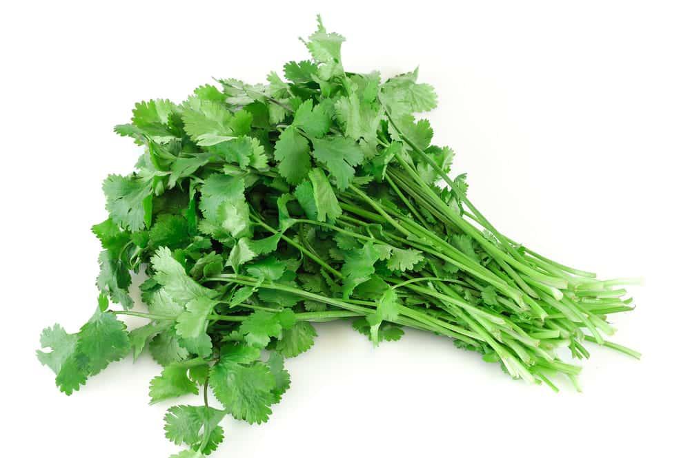 cilantro smells like stink bugs