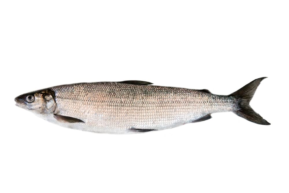 what does whitefish taste like